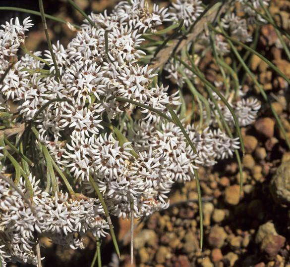 Conospermum acerosum