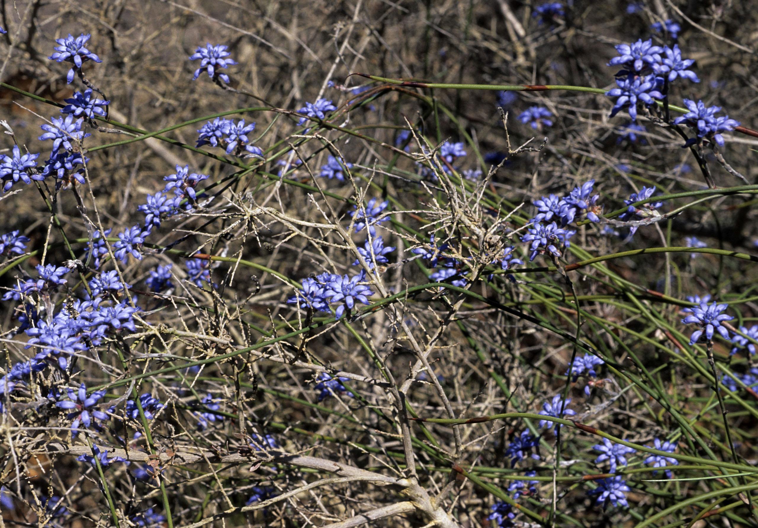 Conospermum caeruleum