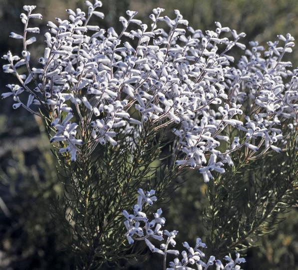 Conospermum floribundum