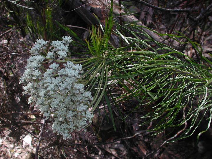 Conospermum mitchellii