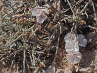 Convolvulus caput-medusae