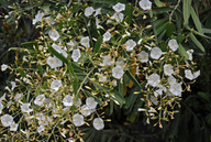 Convolvulus floridus