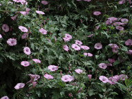 Convolvulus althaeoides