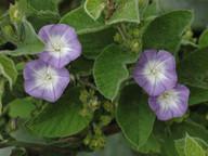 Convolvulus canariensis
