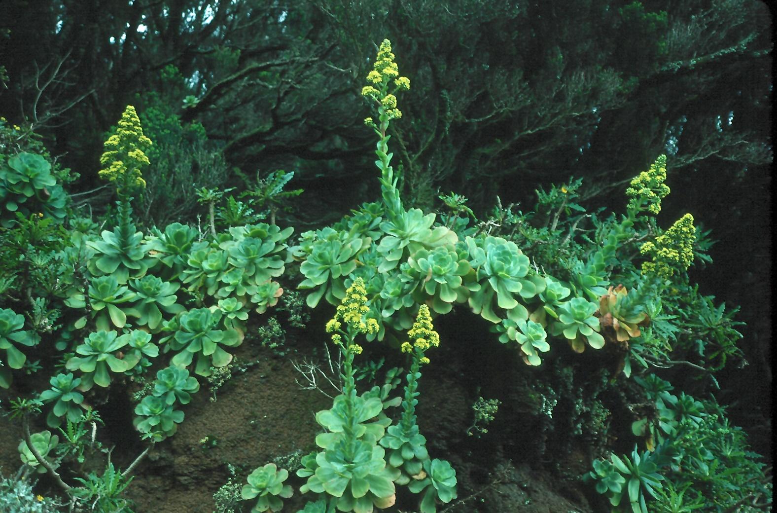 Aeonium cuneatum?