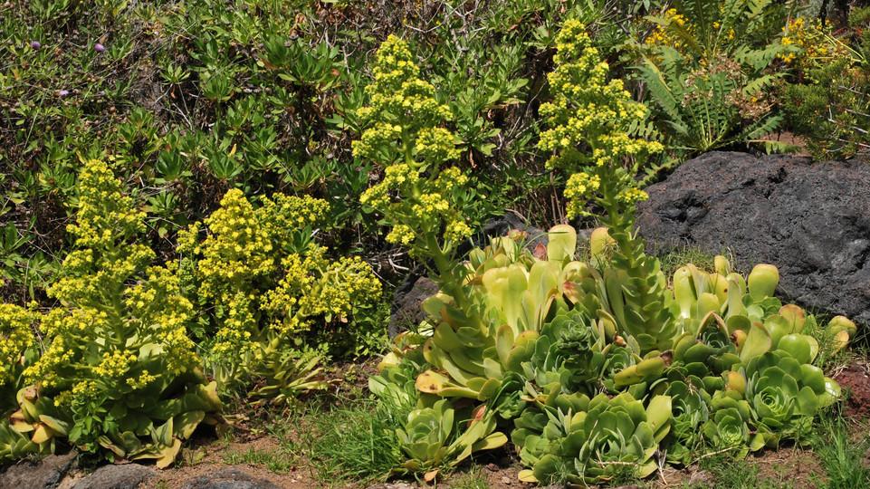 Aeonium palmense