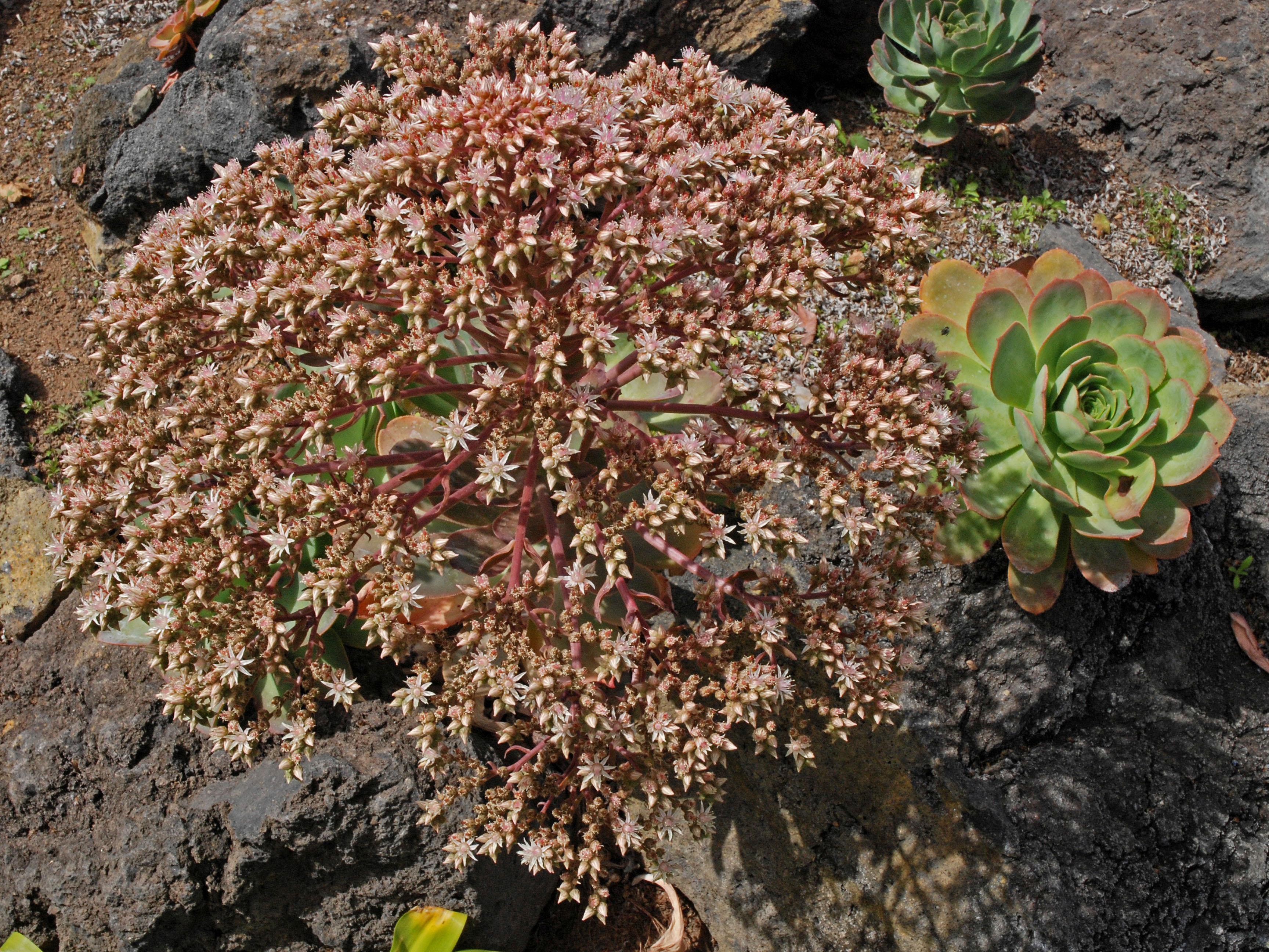 Aeonium pseudourbicum?