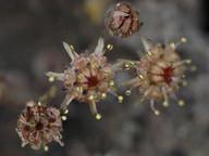 Monanthes brachycaulos