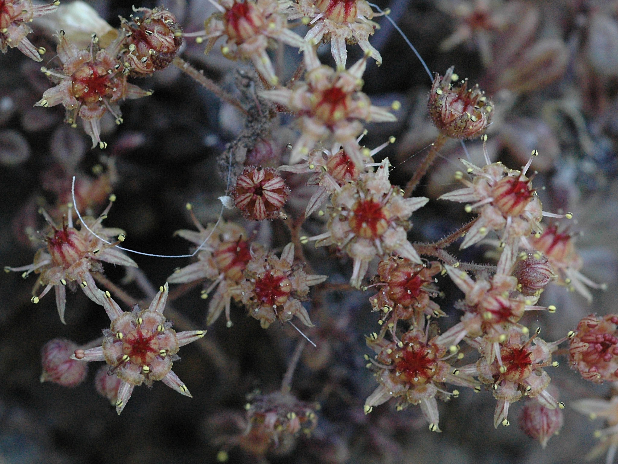 Monanthes brachycaulos