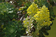 Aeonium manriqueorum