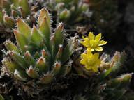 Aeonium simsii