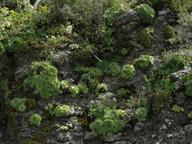 Greenowia aurea