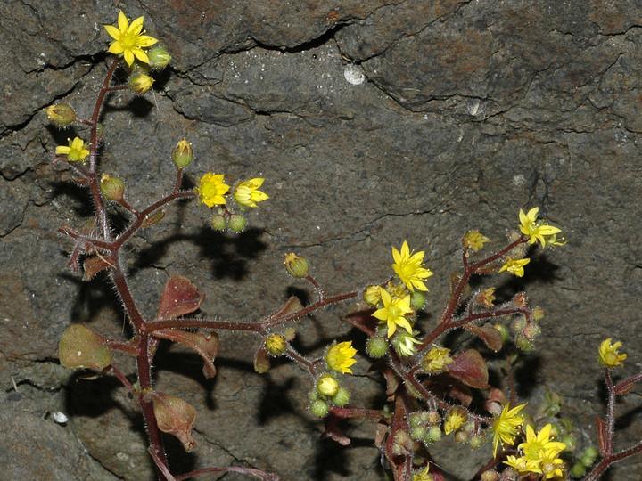 Aichryson porphyrogennetos
