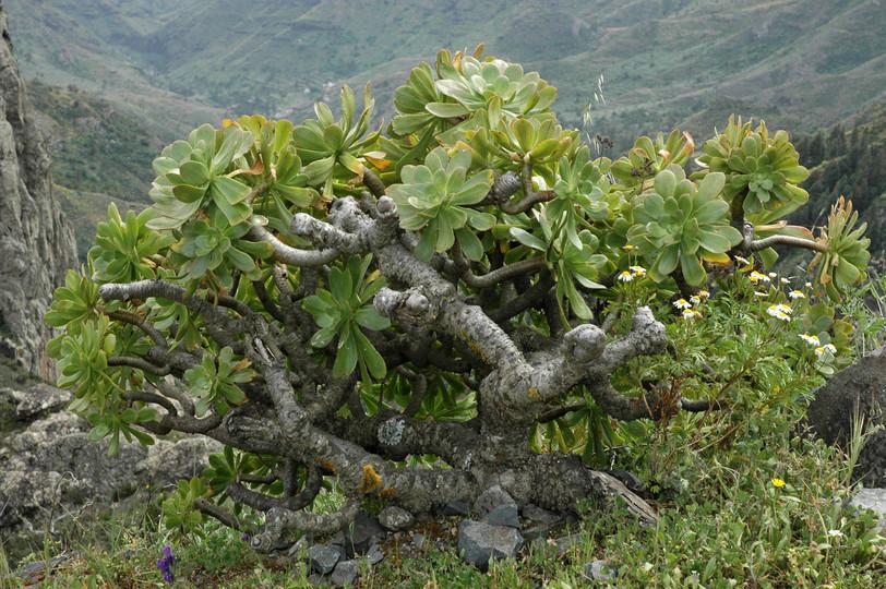 Aeonium rubrolineatum
