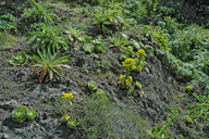 Greenowia diplocycla