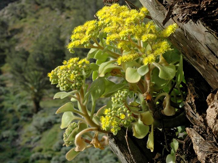 Aichryson dichotomum