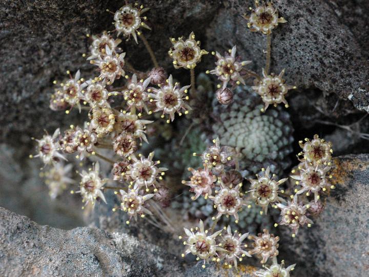 Monanthes polyphylla