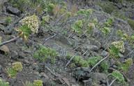 Aeonium urbicum