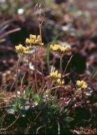 Draba alpina