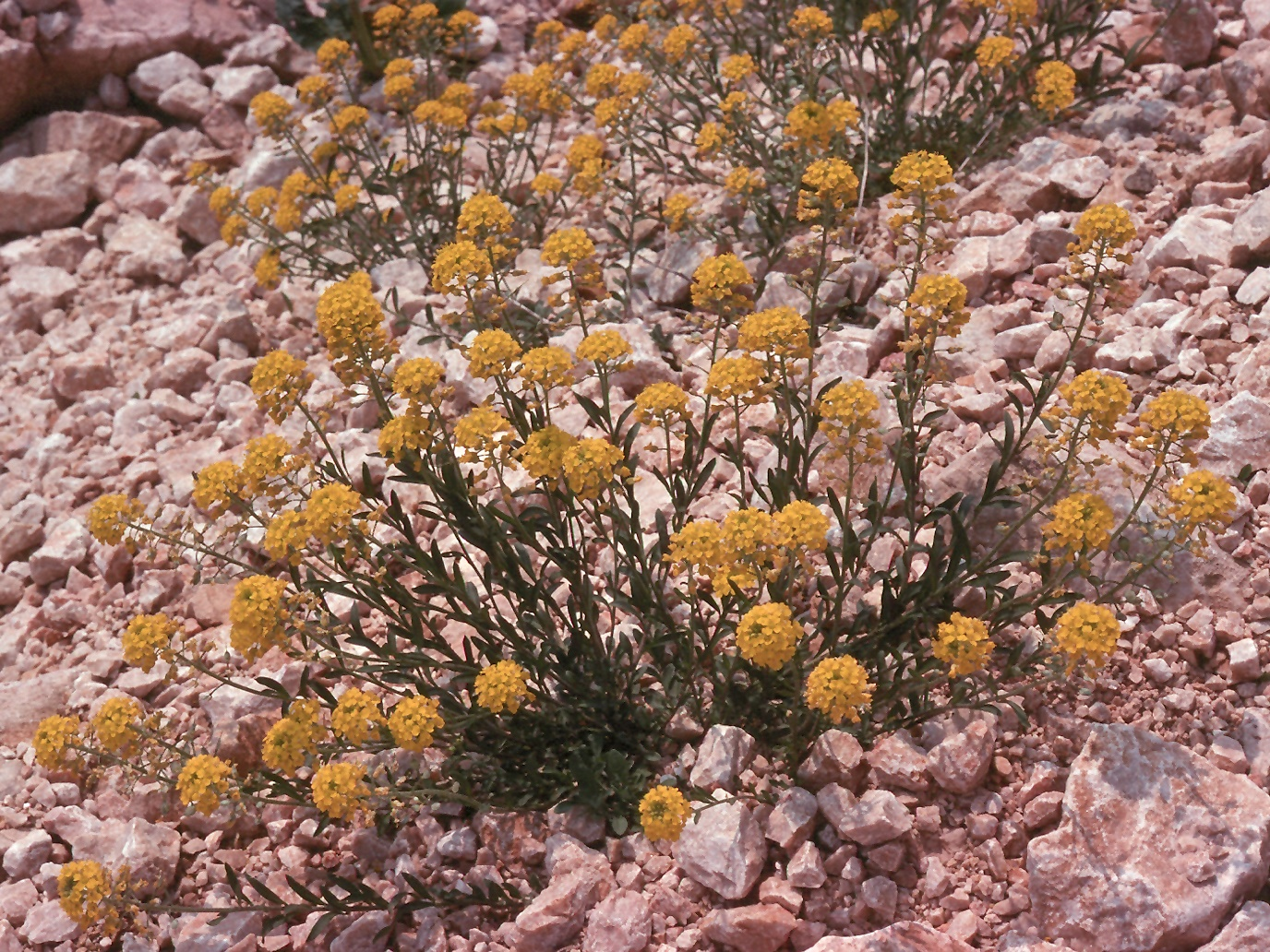 Alyssum sp.