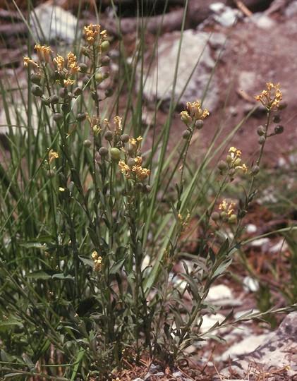 Alyssoides utriculata