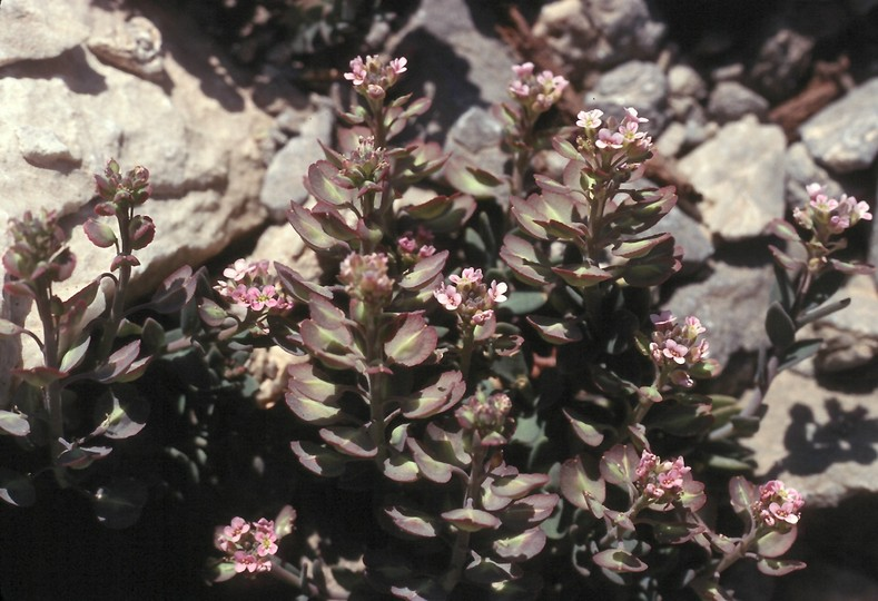 Aethionema saxatile