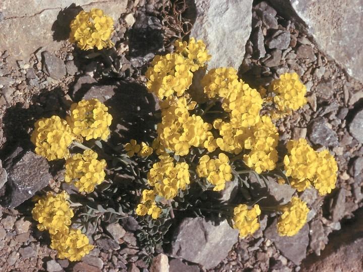 Alyssum handellii