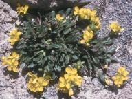 Brassica repanda