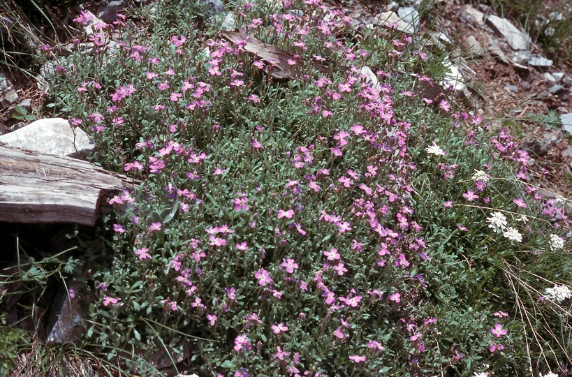 Aubrieta thessala?