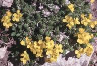 Draba brunifolia ssp. olympica