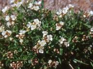 Cardamine resedifolia