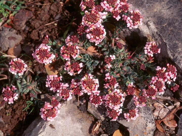 Aethionema saxatile ssp. creticum
