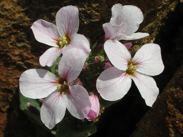 Arabis purpurea