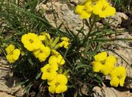 Erysimum jugicola