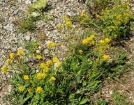 Sisymbrium austriaca