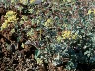 Alyssum chondrogynum