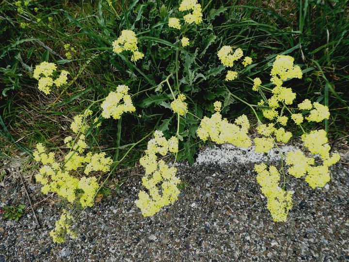 Biscutella frutescens