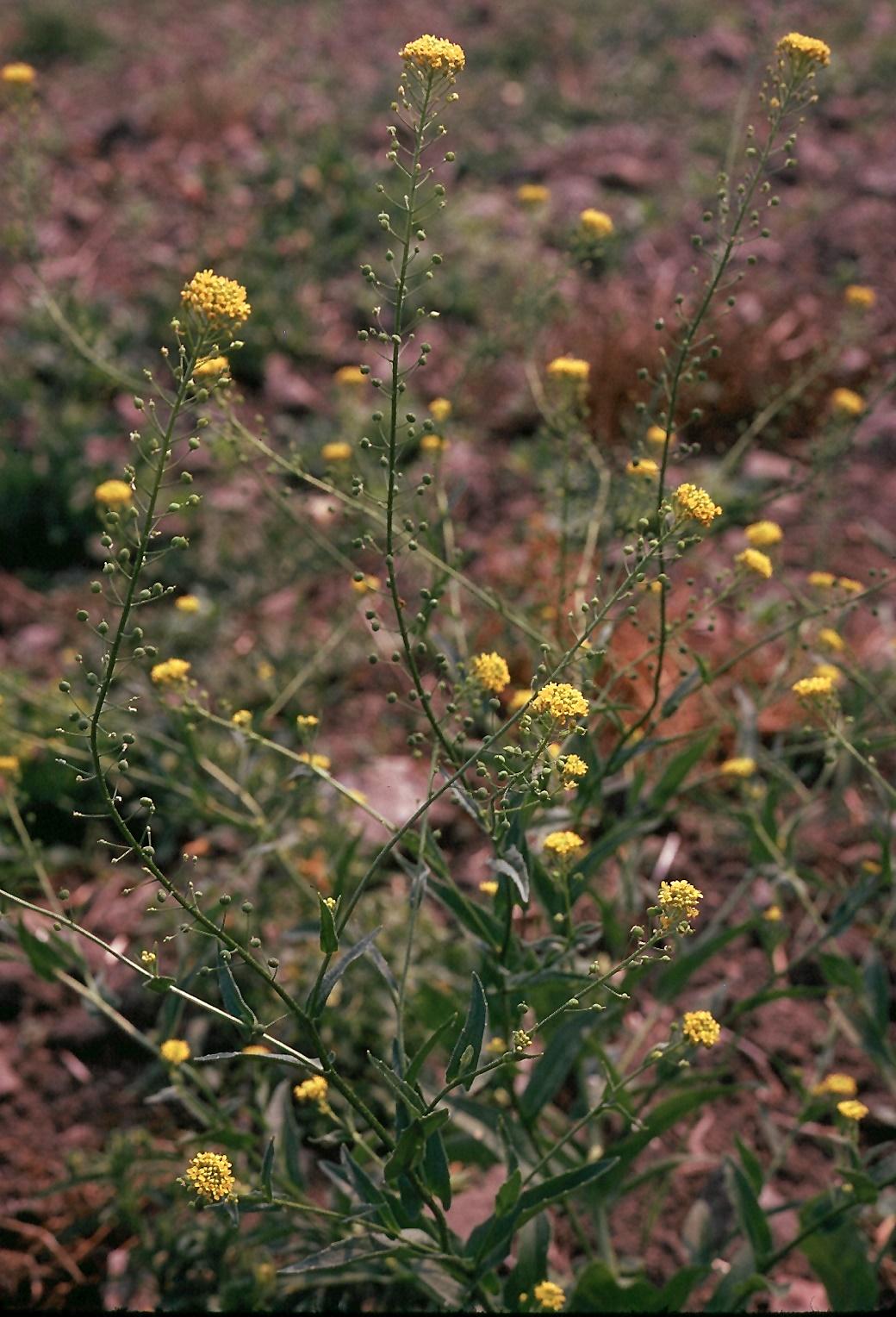 Neslia paniculata