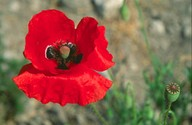 Papaver rhoeas