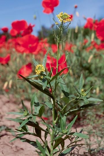 Erysium cheiranthoides
