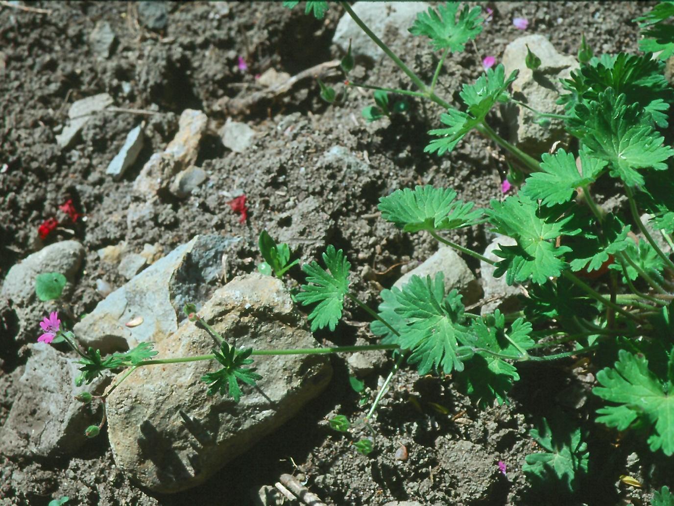 Geranium molle