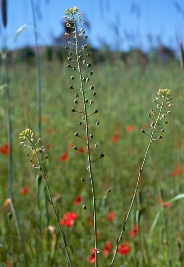 Camelina sativa ssp. microcarpa
