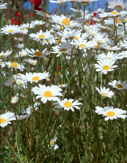 Anthemis arvensis