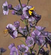 Cyanostegia angustifolia