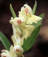 Dactylorhiza romana