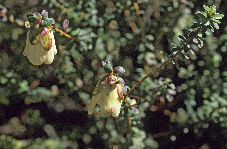 Darwinia macrostegia