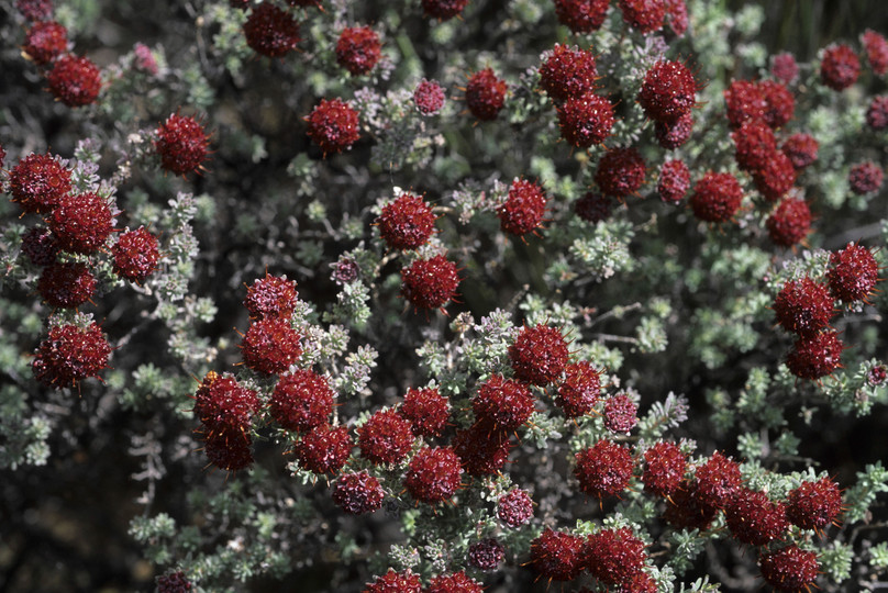 Darwinia purpurea