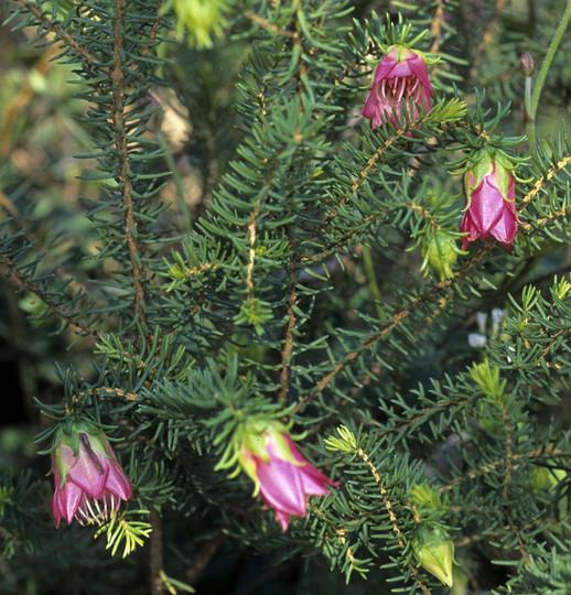 Darwinia leiostyla