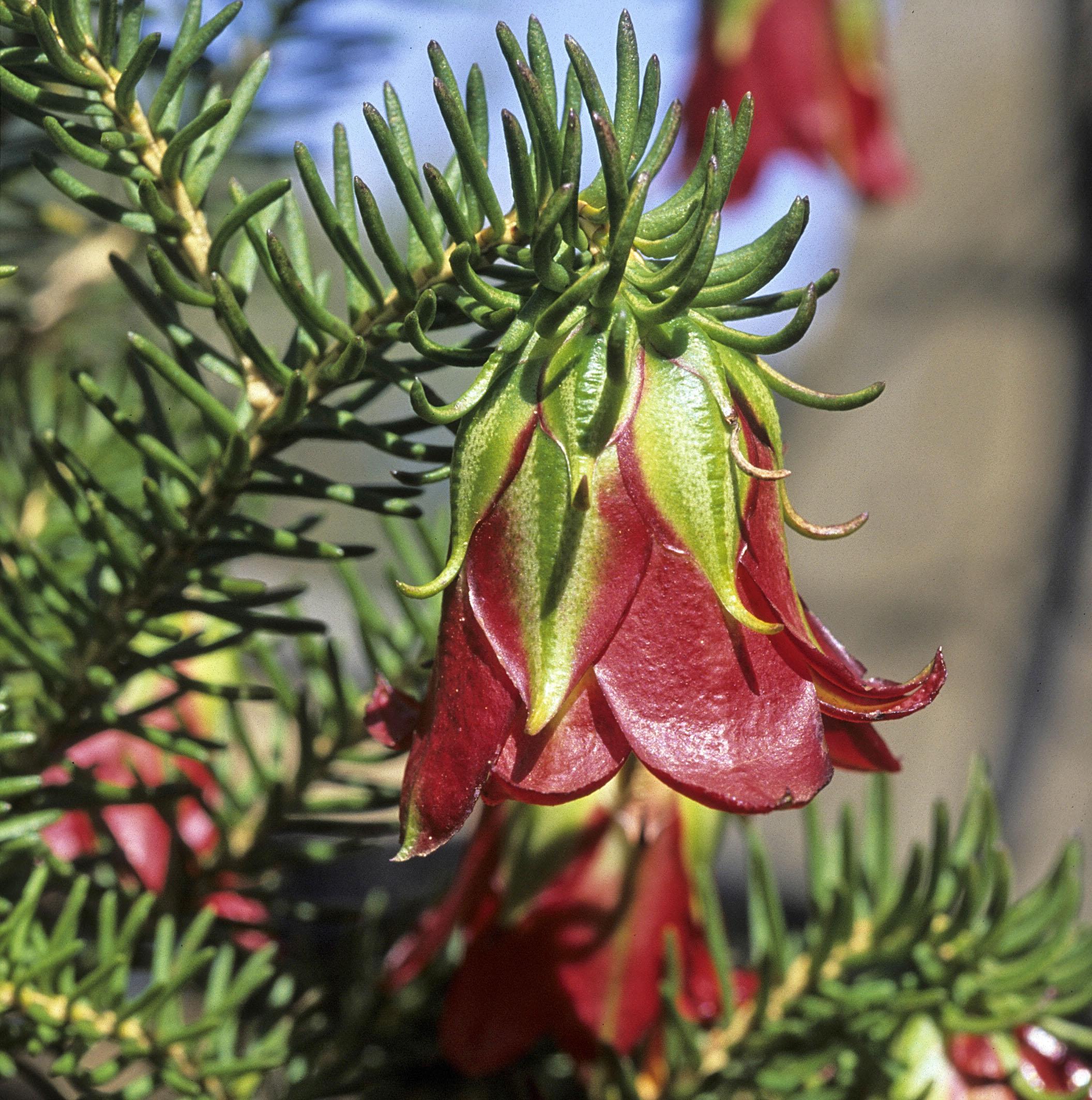 Darwinia oxylepis