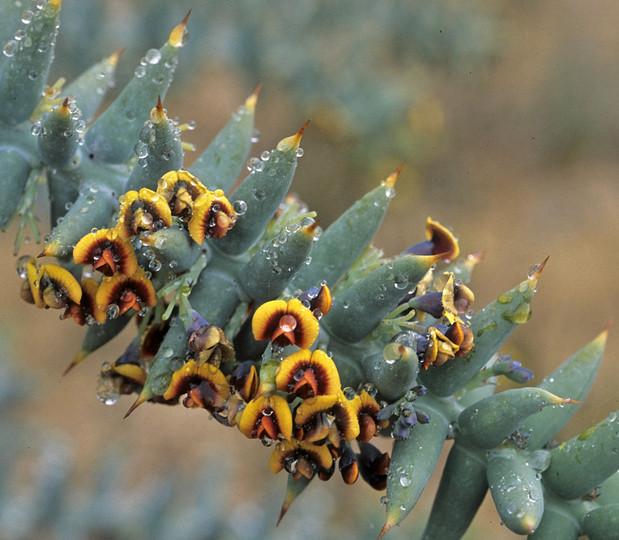 Daviesia pachyphylla